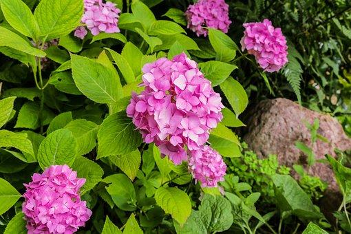 Hydrangea, Garden, Summer, Flower, Plant, Pink, Blossom