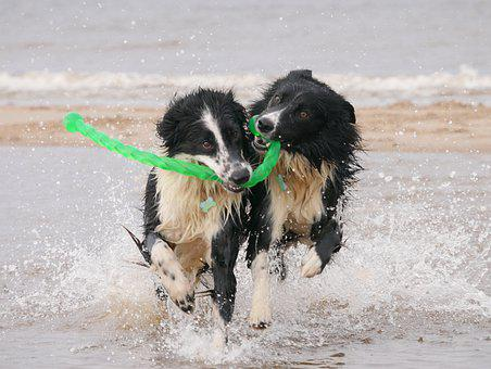 Dogs, Border Collie, Wet Dogs, Animal, Sea, Beach