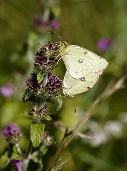 Clouded Yellow, Butterfly, Nature, Insect, Butterflies