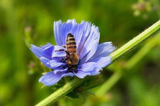 Chicory, Bee, Common Chicory, Ordinary Chicory, Eat