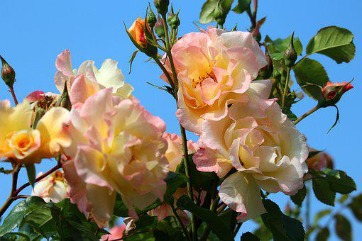 Climbing Rose, Bush Rose, Thorns, Flowers, Plant