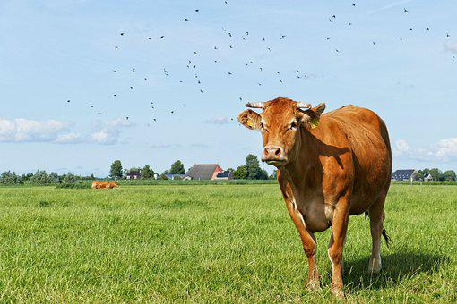 Cow, Cows, Cattle, Meadow, Animal, Beef, Farm