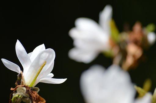 Black, White, Magnolia, Nature, Close Up, Death