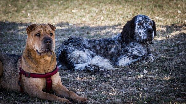 Dogs, Shar Pei, Setter