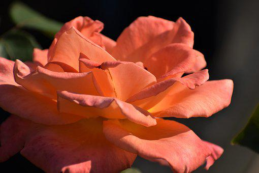 Orange Rose, Blooming, Flower, Evening, Summer, Nature