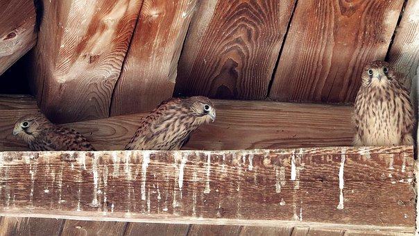 Falcon, Bird Of Prey, Raptors, Young Hawk, Nest