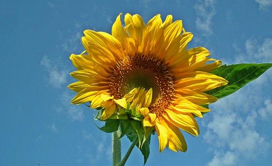 Sunflower, Flower, Yellow, Nature, Field, Sunny