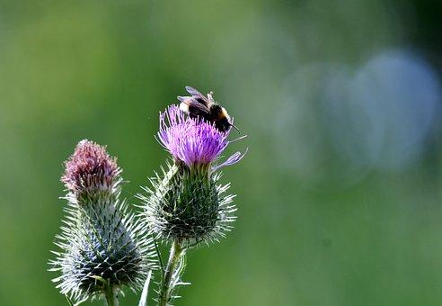 Thistles, Bee, Bug, Purple, Violet, Flowers, Nature