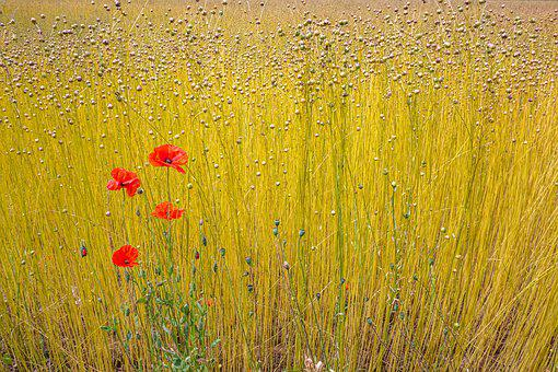 Fields, Lin, Normandy, France, Harvest, Nature