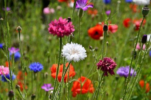 Summer, Natural, Flowers, Poppy, Eng, Garden, Beautiful