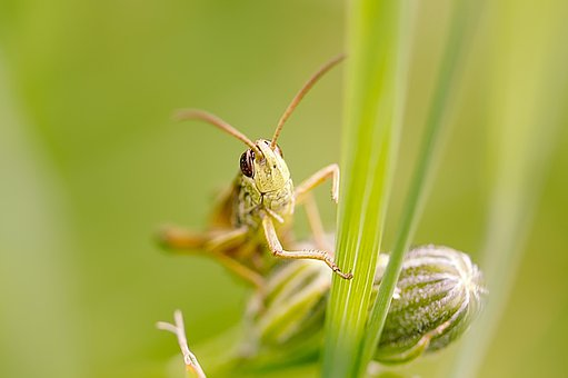 Grasshopper, Insect, Nature, Close Up, Animal, Green
