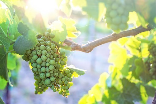 Grapes, Unripe, Unripened, Green, Vineyard, Wine, Vine