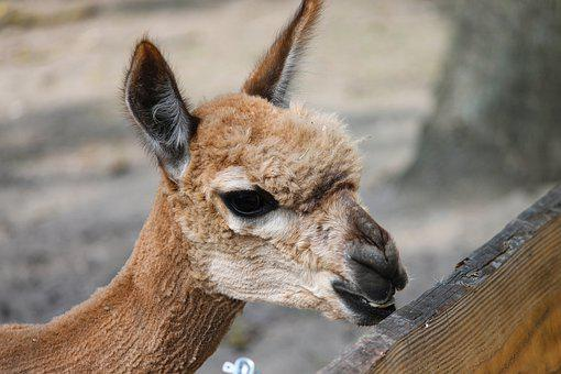 Alpaca, Pako, Vicugna Pacos, Close Up, Head, Face