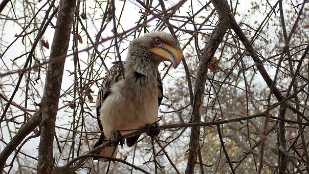 Toko, Bird, Safari, Hornbill, National Park, Africa