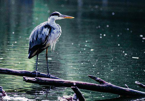 Heron, Grey Heron, Bird, Lake, Water Bird, Eastern