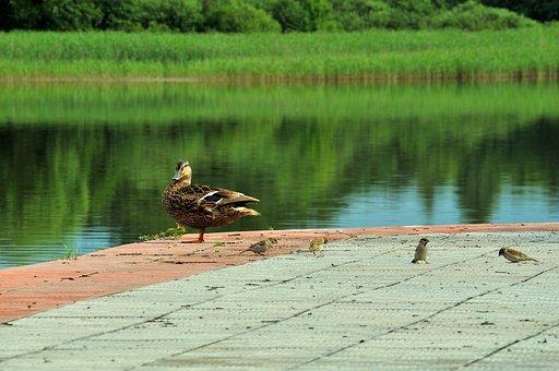 Lake, Summer, Day, Duck, Bird, Beach, Reeds, Sparrows