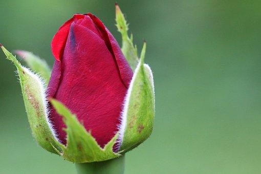 Red Violet Rose Velvet, Bud, Green Leaves, Macro
