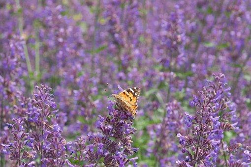 Butterfly, Flowers, Meadow, Lavender, Peacock Butterfly