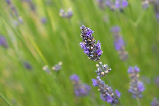 Lavender, Medicinal Plant, Herb, Lavender Flowers