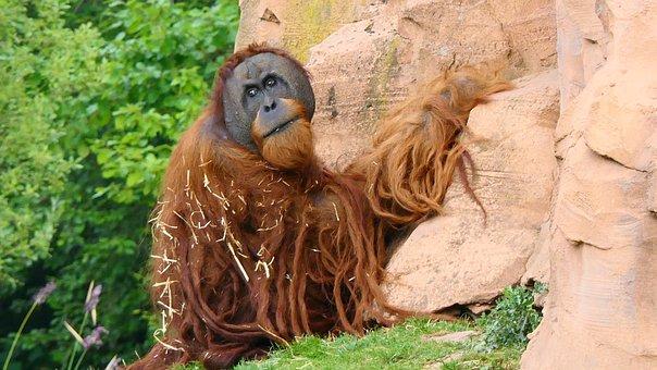 Monkey, Mammal, Orang-outang, Animal Park, Rock