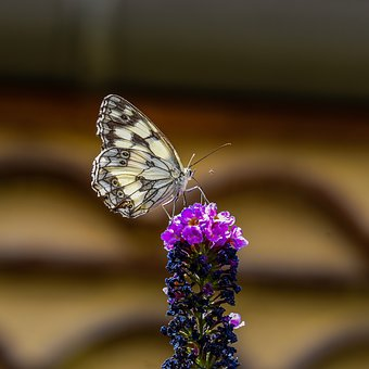 Butterfly, Flower, White, Purple, Insect, Nature