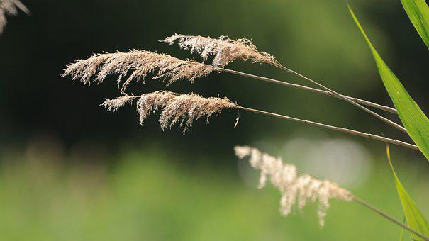 Reed, Bank, Nature, Plant, Mood, Waters, Grasses