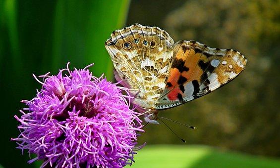 Butterfly, Insect, Latria Kłosowa, Flower, Nature