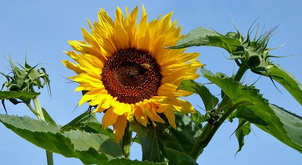 Nature, Garden, Plant, Sunflower, Light, Leaves