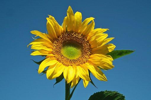 Sunflower, Flower, Yellow, Summer, Nature, Field