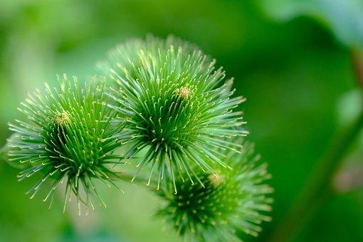 Burdock, Wild Plant, Nature, Burdock Root, Wild Flower