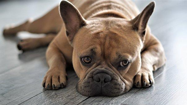 French Bulldog, Dog, Pet, Animal, Loyal Friend, Paws
