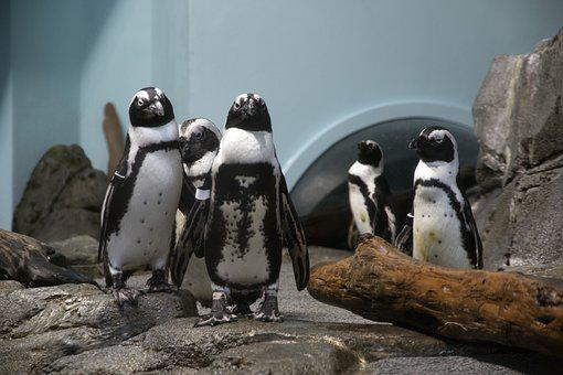 Nature, Wildlife, Zoo, Penguins, Blue, Animals, Cute