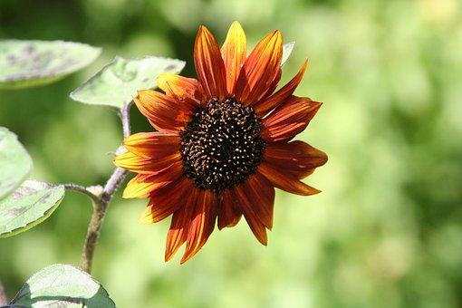 Sunflower, Flower, Agriculture, Sun, Field, Petals