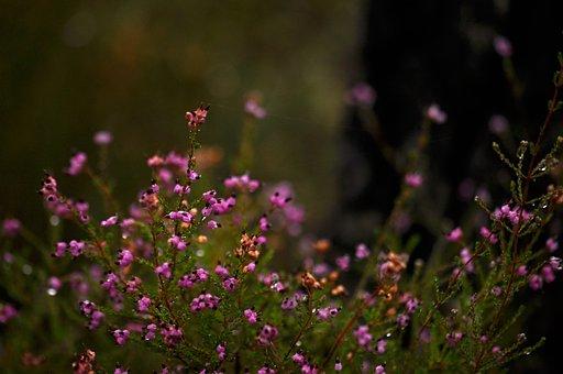 Flowers, Heather, Pink, Purple, Nature, Plant, Bloom