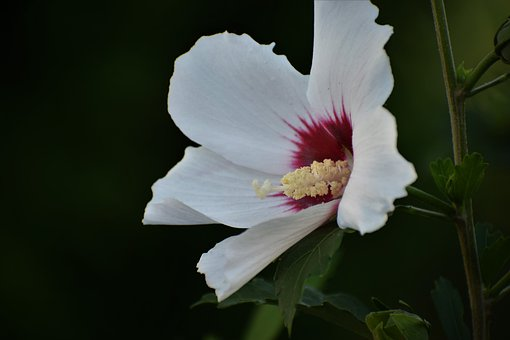 Garden Marshmallow, White, Flower, Blooming, Pollen