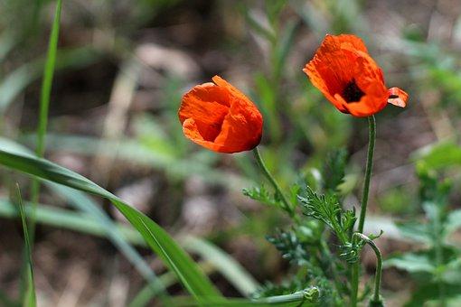 Wild Poppies, Poppies, Flower, Meadow, Summer