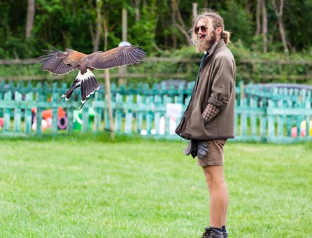 Harris Hawk, Raptor, Falconry, Prey, Animal, Hunter