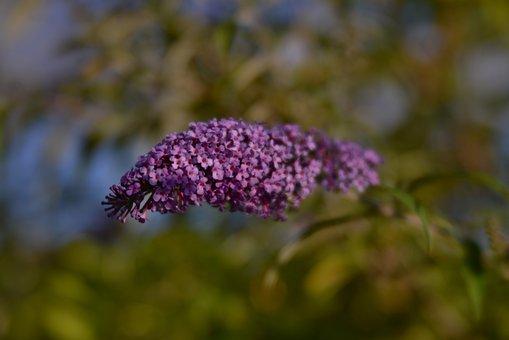 Butterfly Bush, Bloom, Flower, Purple, Nature, Violet
