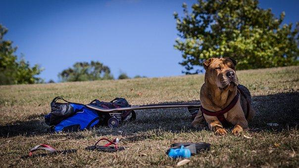 Shar Pei, Dog, Grass