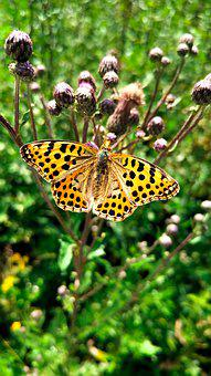 Butterfly, Silver-bordered Fritillary, Insect, Nature