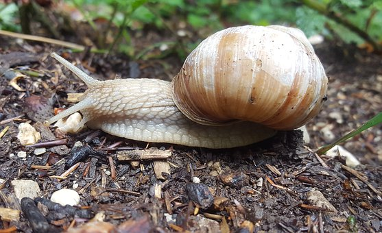 Snail, Reptile, Shell, Mollusk, Slowly, Animal, Nature