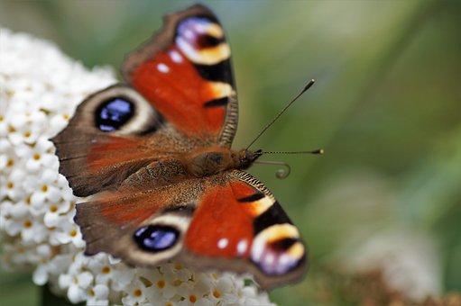 Butterfly, Peacock, Eye, Flower, Summer, Wings