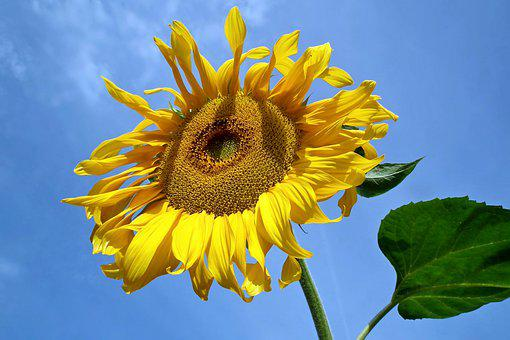Sunflower, Flower, Summer, Yellow, Nature, Field, Sunny