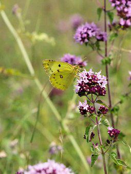 Clouded Yellow, Butterfly, Summer, Yellow, Nature