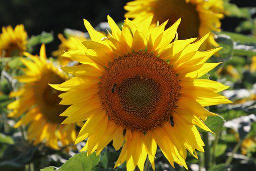Sunflower, Boost, Sunflowers, Insect, Eco, Sunny