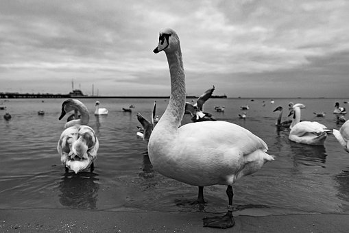 Swan, Water, Sea, Nature, Free Photos, Animal, Bird