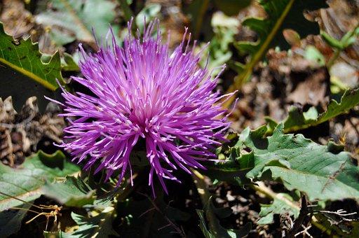 Thistle, Nature, Flower, Plant, Garden, Summer, Bloom