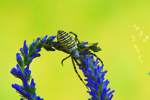 Tygrzyk Paskowany, Female, Arachnid, Insect, Flower