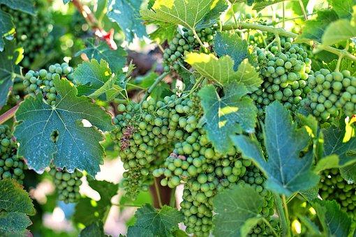 Grapes, Unripe, Unripened, Green, Vineyard, Wine, Vine