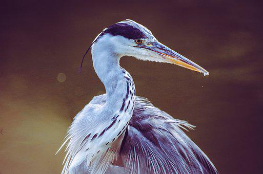 Heron, Grey Heron, Bird, Water Bird, Eastern, Hunter